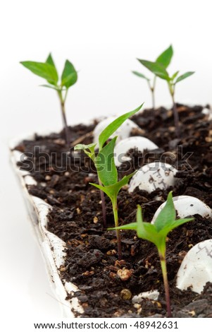 Macro shot of healthy pepper seedlings in an egg crate, ready for spring planting. High key image with white background. - stock photo