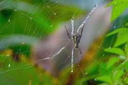 Macro shot of indian signature spider, harmless orb spider waiting for prey in its beautiful web