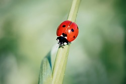 Macro shot of isolated red ladybird on a grass stem