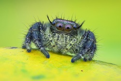 Macro shot of jumping spider