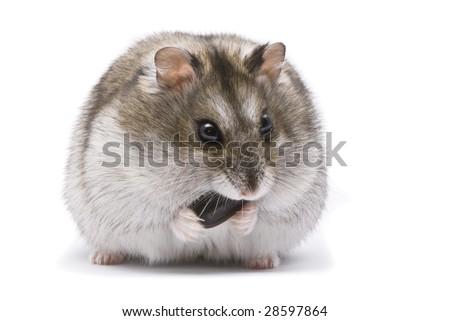 russian dwarf hamster toys