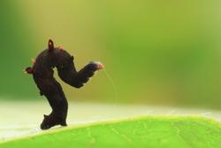 Macro shot of moth larva. (Arthropoda: Insecta: Lepidoptera: Geometridae). In Taiwu Township, Pingtung County, Taiwan.