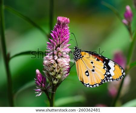 Macro shot of Orange Lacewing butterfly on cockscomb flower. #260362481