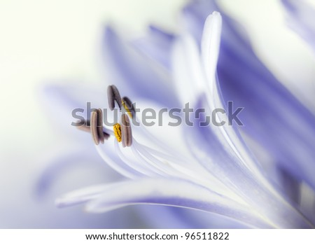 Macro shot of pastel mauve Agapanthus flower and anthers.