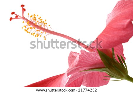 Macro shot  of pink Hibiscus before white background