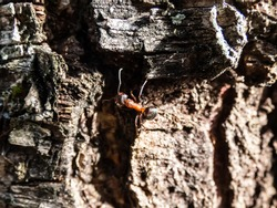 Macro shot of Red wood ant, southern wood or horse ant (Formica rufa) on birch tree bark