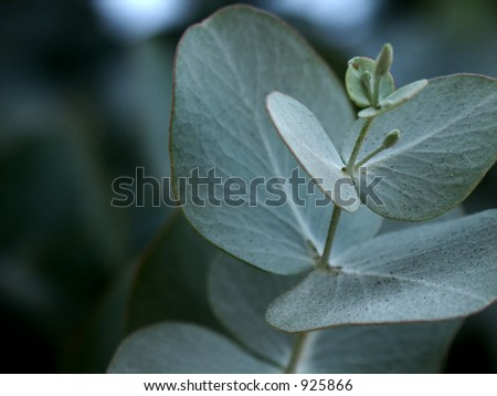 Macro shot of sliver green baby Eucalyptus leaves. - stock photo