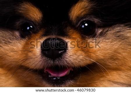 Macro shot of spitz puppy