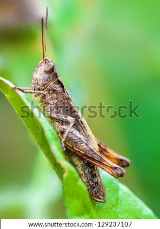 Macro shot of the chorthippus brunneus grasshopper sitting on the leaf