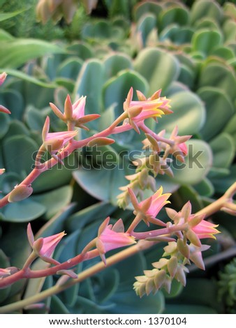 Macro shot of the pink flowers of the succulent plants.