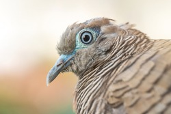 Macro shot of the Zebra dove (Geopelia striata) also known as barred ground dove, is a bird of the dove family against a nature background.