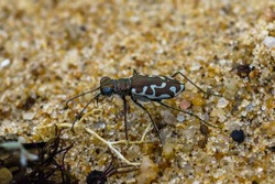 macro shot of tiger beetle at the beach
