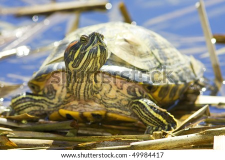Macro shot of tortoise Red-eared Sliders (Trachemys scripta elegans), with focus on eyes