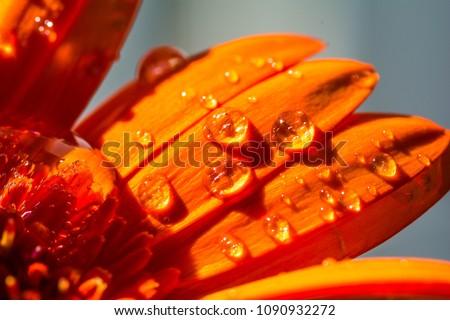 Macro shot of water drops on orange daisy flower (gerbera).