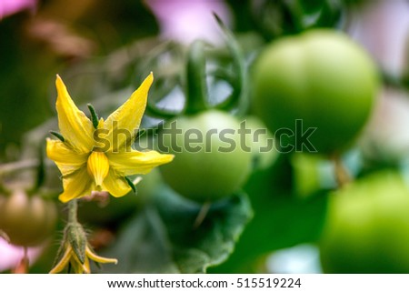Macro shot of yellow blossom and group of unripe tomatoes in a greenhouse