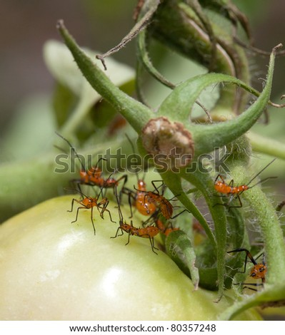 Macro shot of young nymph stink bugs on tomato plant. Filaments of tomato plants and very closeup details in sharp focus. The garden is an amazing place up close and personal! - stock photo