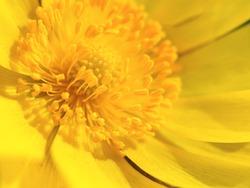 Macro shot yellow flower background. Spring flower background. The first primroses in the spring sun.