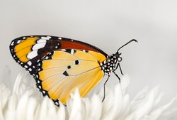Macro shots, Beautiful nature scene. Closeup beautiful butterfly sitting on the flower in a summer garden. . Monarch, Danaus plexippus is a milkweed butterfly (subfamily Danainae) in the family Nympha