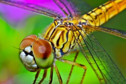 Macro shots, Beautiful nature scene dragonfly. Showing of eyes and wings detail. Dragon fly in the nature habitat using as a background or wallpaper.The concept for writing an article.
