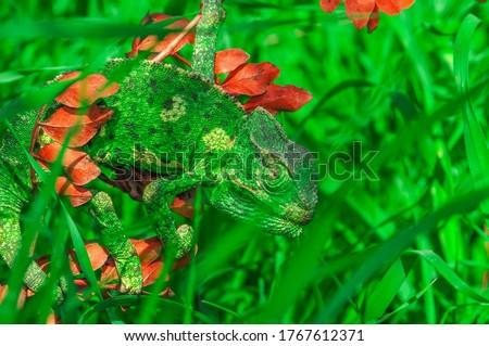 Macro shots, Beautiful nature scene green chameleon  Stock photo ©