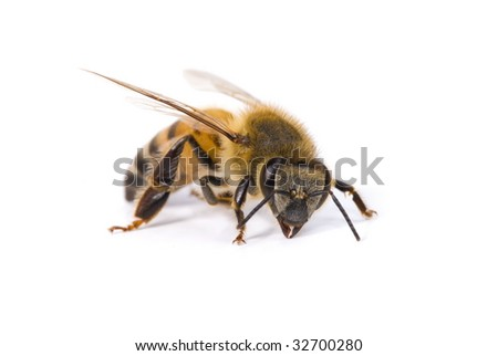 Macro Shots of a bee on white background .