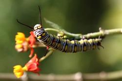 macro shots of a monarch caterpillar eating
