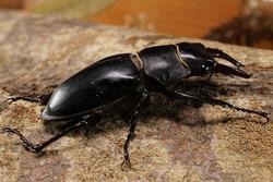 Macro side of the Caucasian brown stag beetle Lucanus