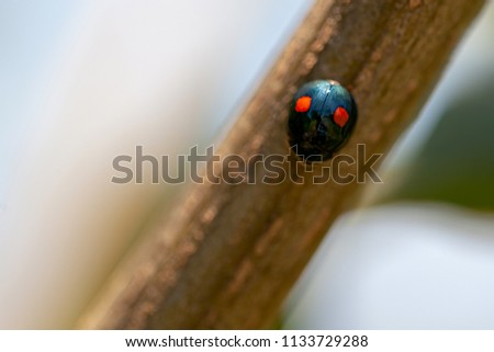 Macro top view of cactus lady beetle