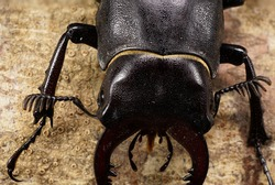 Macro top view of chitin head, chest, abdomen with limbs Caucasian stag beetle