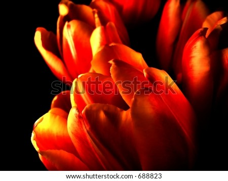 macro tulips hot pink black - stock photo