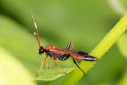 Macro view insect. parasitic wasp red banded sand wasp, is species of subfamily Ammophilinae of hunting wasp family Sphecidae. parasitic wasp