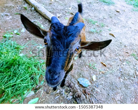 Macro view of a goat face with two eyes, two ears and two horns.  #1505387348
