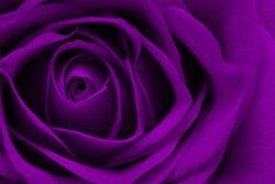 Macro View of a Rose