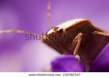 Macro view of bedbug