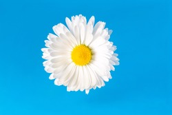 Macro view of chamomile blossom with white petals and yellow pistils on soft blue background with copy space. Center of blossom is in camera focus