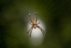 Macro view of cross spider (Araneus diadematus) in cobweb over light spot on green garden background