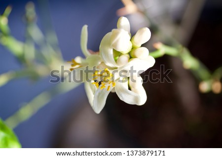 Macro view of fresh white blossoms on an indoor Meyer lemon tree