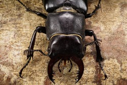 Macro view of from above of the head, chest and abdomen with limbs Caucasian stag beetle