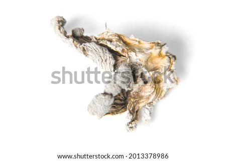 Macro view of Schizophyllum commune mushroom. isolated on white background. Flat lay Photo stock ©