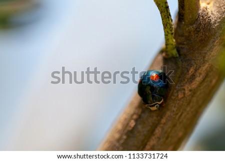 Macro view of twice-stabbed ladybug