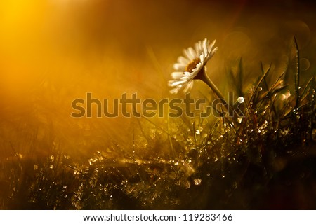 Macro view of wild flower in sunset with bokeh.
