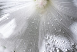 Macro view on bright white petals of flower in the garden. Water drops effect, drops of dew on a green grass. Flower macro. Closeup flower with water drops, natural spring background