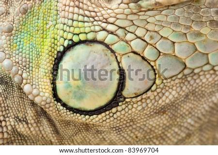 macro view to green iguana skin