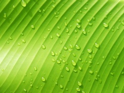 macro Water droplets on banana leaf