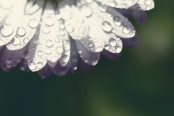 Macro wet white petals of daisy marguerite with dew draops on blurred background.Toned photo with copy space