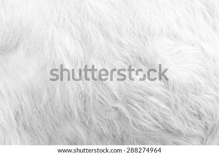 Macro White Goat Hair.Macro with extremely shallow dof