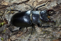 Macro with the dorsal part of imago Caucasian stag beetle Lucanus on the bark of the tree with green moss