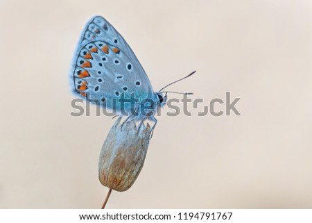 Macro world,the common blue butterfly (Polyommatus icarus)