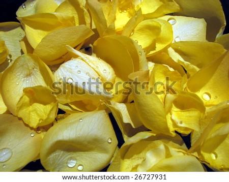Macro Yellow Rose Petals