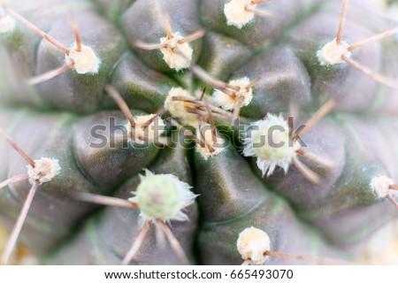 Macro Zoom Dark Green Purple Gymnocalycium baldianum, Dwarf Chin Cactus, from top view